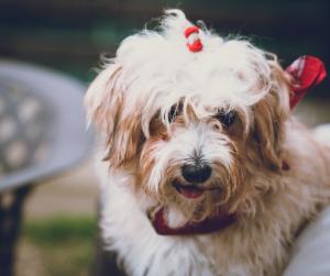 Kleiner Hund mit Schleife im Haar