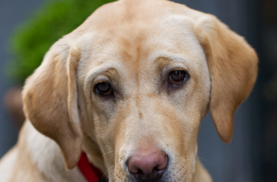 Hundekopf Labrador