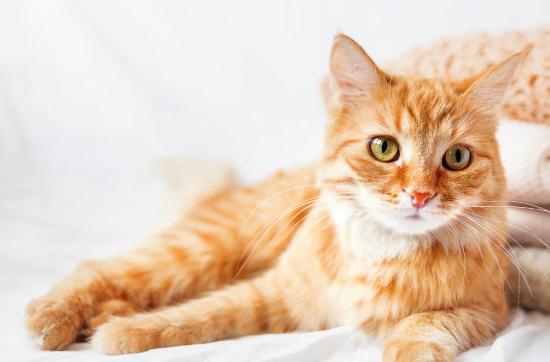 Rotgetigerte Katze liegt auf dem Bett