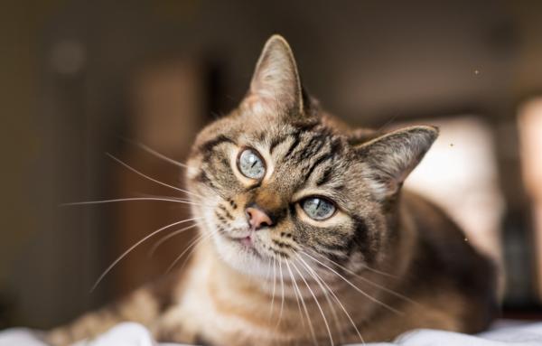 Katzenkopf mit Gesicht nach vorne