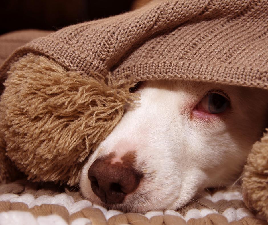 Hundeschnauze schaut unter der Decke hervor